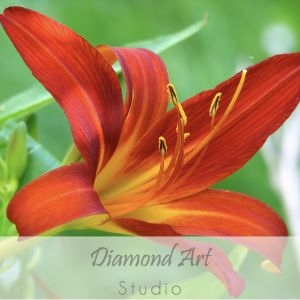 Red Lily Image